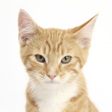 Portrait of a Ginger Kitten Photographic Print by Mark Taylor