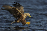 White Tailed Sea Eagle Hunting, North Atlantic, Flatanger, Nord-Trøndelag, Norway, August Fotodruck von  Widstrand