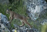 Wild Iberian Lynx (Lynx Pardinus) One Year Female, on Rocks, Sierra De Andújar Np, Andalusia, Spain Photographic Print by  Oxford