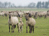 Konik Horse Family, Oostvaardersplassen, Netherlands, June 2009 Photographic Print by  Hamblin