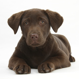 Chocolate Labrador Puppy, 3 Months, Lying Photographic Print by Mark Taylor