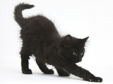 Fluffy Black Kitten, 9 Weeks Old, Stretching Photographic Print by Mark Taylor