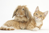 Ginger Kitten with Sandy Lionhead-Lop Rabbit Photographic Print by Mark Taylor