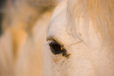 White Camargue Horse Close-Up of Head, Camargue, France, May 2009 Photographic Print by  Allofs