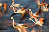 Greater Flamingos (Phoenicopterus Roseus) Taking Off from Lagoon, Camargue, France, May 2009 Photographic Print by  Allofs