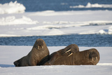 Three Walrus (Odobenus Rosmarus) Resting on Sea Ice, Svalbard, Norway, August 2009 Photographic Print by  Cairns