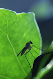 A Long-Legged Fly (Neurigona Quadrifasciata) Silhouetted Against an Ivy Leaf (Hedera Helix) UK Photographic Print by Nick Upton