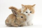 Ginger-And-White Kitten Baby Rabbit Fotografisk tryk af Mark Taylor