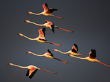 Greater Flamingos (Phoenicopterus Roseus) in Flight, Camargue, France, April 2009 Photographic Print by  Allofs