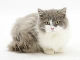 Ragdoll X British Shorthair Kitten, 12 Weeks Photographic Print by Mark Taylor