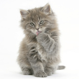 Maine Coon Kitten, 7 Weeks, Washing a Paw Photographic Print by Mark Taylor