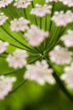 Abstract Alpine Lovage (Ligusticum Mutellina) Flower Head, Triglav National Park, Slovenia, June Photographic Print by  Zupanc