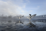 Two Grey Herons (Ardea Cinerea) on Ice, Squabbling over Fish, River Tame, Stockport, UK Photographic Print by Terry Whittaker