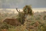 Red Deer (Cervus Elaphus) Stag Thrashing Bracken, Rutting Season, Bushy Park, London, UK, October Photographic Print by Terry Whittaker