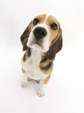 Beagle Puppy Sitting and Looking Up Photographic Print by Mark Taylor