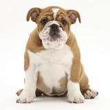 Portrait of a Bulldog Puppy, 11 Weeks Photographic Print by Mark Taylor