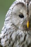 Ural Owl (Strix Uralensis) Close-Up Portrait, Bergslagen, Sweden, June 2009 Fotoprint van  Cairns