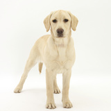Yellow Labrador Puppy, 5 Months, Standing Photographic Print by Mark Taylor