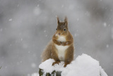 Red Squirrel Sitting on Snow Covered Tree Stump, Glenfeshie, Cairngorms Np, Scotland, February Photographic Print by  Cairns