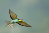European Bee-Eater (Merops Apiaster) in Flight, Bulgaria, May 2008 Photographic Print by  Nill