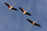 Three Greater Flamingos (Phoenicopterus Roseus) in Flight, Camargue, France, May 2009 Photographic Print by  Allofs