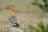 Hoopoe (Upupa Epops) La Serena, Extremadura, Spain, April 2009 Papier Photo par  Widstrand