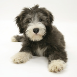 Blue Bearded Collie Puppy, Misty, 3 Months Photographic Print by Mark Taylor
