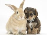 Yorkipoo Pup, 6 Weeks Old, with Sandy Rabbit Fotografisk tryk af Mark Taylor