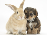 Yorkipoo Pup, 6 Weeks Old, with Sandy Rabbit Photographic Print by Mark Taylor
