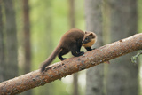 Pine Marten (Martes Martes) 4-5 Month Kit Walking Along Branch in Caledonian Forest, Scotland, UK Photographic Print by Terry Whittaker