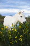 White Camargue Horse Grazing Amongst Yellow Flag Irises, Camargue, France, April 2009 Photographic Print by  Allofs