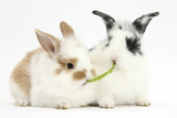 Young Rabbits Sharing a Blade of Grass Reproduction photographique par Mark Taylor
