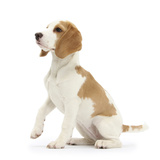 Orange-And-White Beagle Pup, Sitting Portrait Photographic Print by Mark Taylor