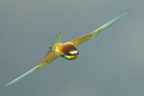 European Bee-Eater (Merops Apiaster) in Flight, Bulgaria, May 2008 Reproduction photographique par  Nill