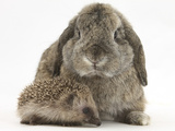 Baby Hedgehog and Agouti Lop Rabbit Papier Photo par Mark Taylor