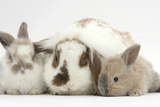 Mother Domestic Rabbit and Two Babies Photographic Print by Mark Taylor