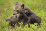 Two Eurasian Brown Bear (Ursus Arctos) Cubs Play Fighting, Suomussalmi, Finland, July 2008 Photographic Print by  Widstrand