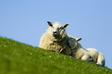 Sheep with Lamb, Westerhever, Germany, April 2009 Photographic Print by  Novák