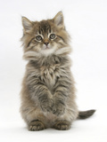 Maine Coon Kitten, 7 Weeks, Sitting Up Photographic Print by Mark Taylor