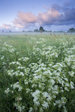 Cow Parsely (Anthriscus Sylvestris) in Meadow at Dawn, Nemunas Regional Reserve, Lithuania, June Photographic Print by  Hamblin