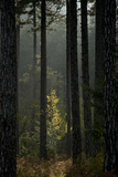 Trunks in Pine (Pinus Nigra) Forest, Valia Calda, Pindos Np, Pindos Mountains, Greece, October Photographic Print by  Radisics