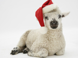 Lamb Wearing a Father Christmas Hat Photographic Print by Mark Taylor