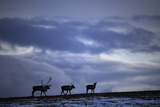 Three Reindeer (Rangifer Tarandus) Silhouetted Against Dark Cloudy Sky, Forollhogna Np, Norway Photographic Print by  Munier