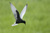 White Winged Black Tern (Chlidonias Leucopterus) in Flight, Prypiat River, Belarus, June 2009 Reproduction photographique par  Máté