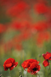 Poppies in Flower, La Serena, Extremadura, Spain, April 2009 Photographic Print by  Widstrand