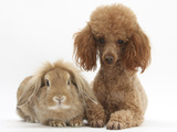 Red Toy Poodle Dog, with Sandy Lop Rabbit Photographic Print by Mark Taylor