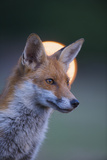 Urban Red Fox (Vulpes Vulpes) Portrait, with Light Behind, London, June 2009 Photographic Print by  Geslin