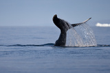 Tail Fluke of a Diving Humpback Whale (Megaptera Novaeangliae) Disko Bay, Greenland, August 2009 Photographic Print by  Jensen