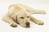 Sleepy Yellow Labrador Puppy, 5 Months Photographic Print by Mark Taylor