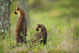 Pine Marten (Martes Martes) Rear View of Adult Female Standing Up with 4-5 Month Kit, Scotland, UK Photographic Print by Terry Whittaker